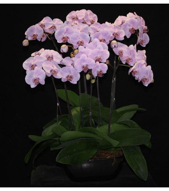 Hoa lan hồ điệp hồng loại 8 cây PS0004