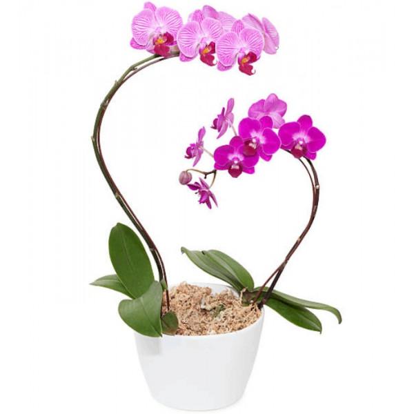 Hoa lan hồ điệp tím hồng loại 2 cây VPS0002