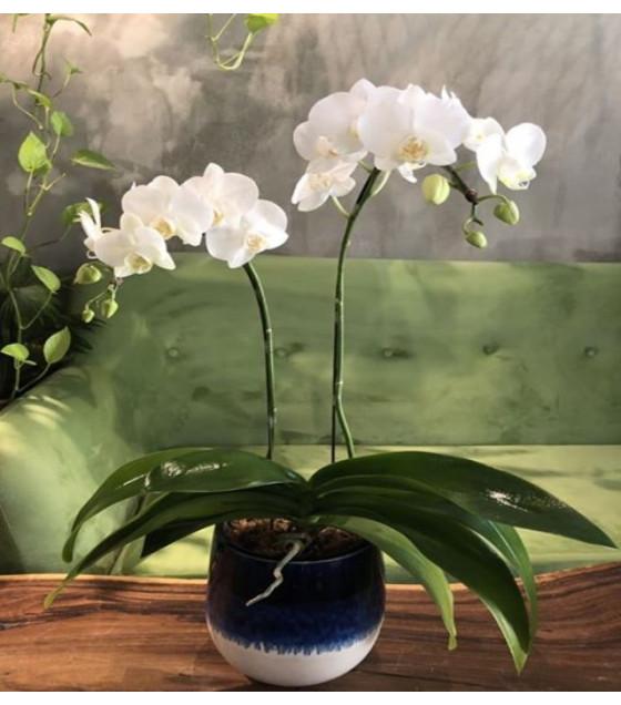 Hoa lan hồ điệp trắng loại 2 cây WS0004