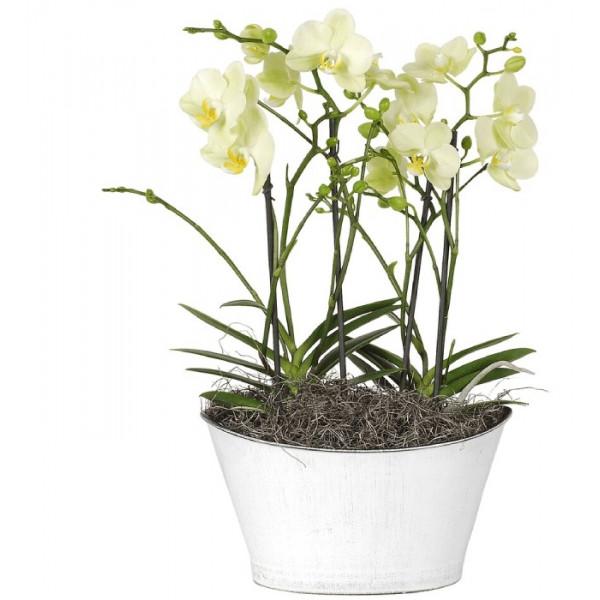 Hoa lan hồ điệp trắng sữa loại 4 cây WS0005