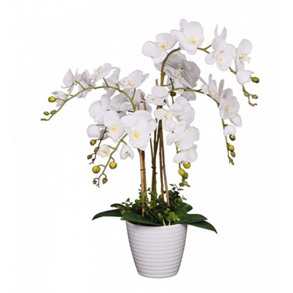 Hoa lan hồ điệp trắng loại 6 cây WS0002